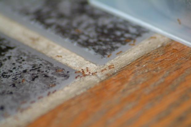 l utilisation d app ts base d acide borique espace pour la vie. Black Bedroom Furniture Sets. Home Design Ideas