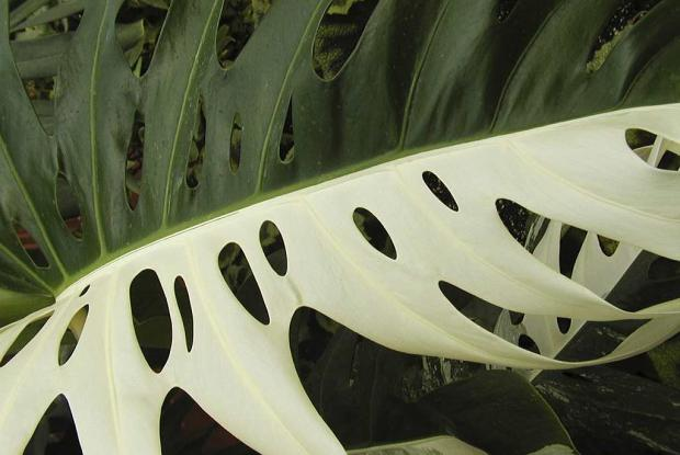 Monstera deliciosa 'Albovariegata'