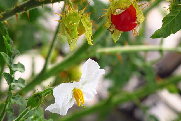 La Morelle de Balbis donne de beaux fruits rouges.
