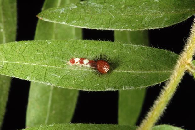Morpho helenor (caterpillar)