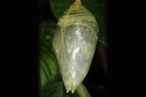 Morpho helenor (chrysalis)