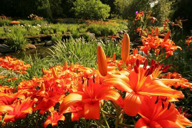 Lilium cv.