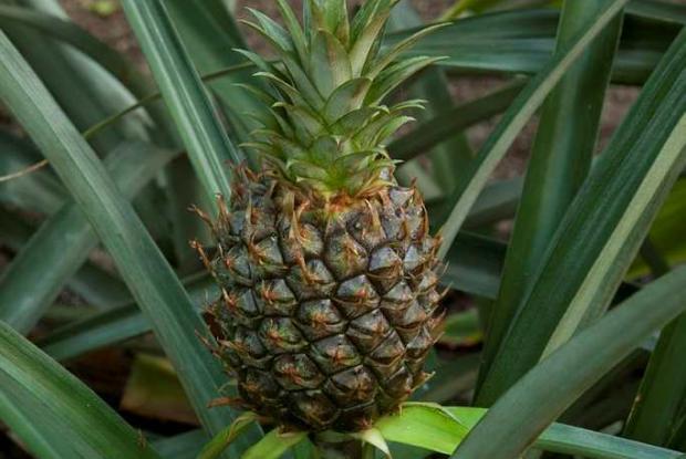 Ananas comosus cv.