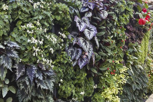 Mur végétal de bégonias et de gesnériacées