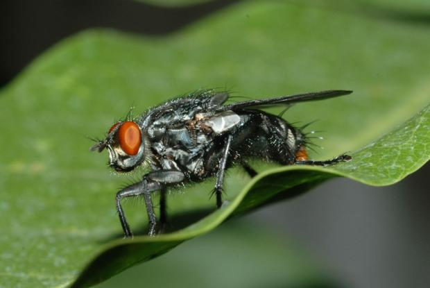 Fly, of the family Sarcophagidae