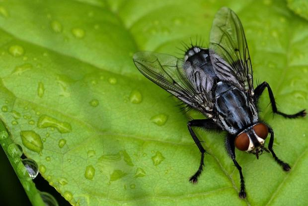 dure de vie d un moucheron comment tuer les sciarides ou mouches de terreau avec un insecticide. Black Bedroom Furniture Sets. Home Design Ideas