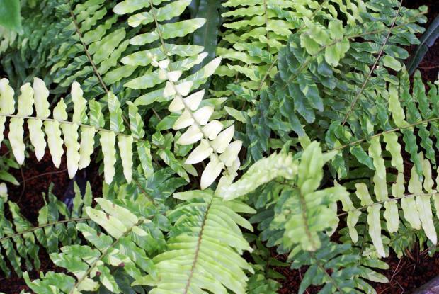 Nephrolepis exaltata var. variegata