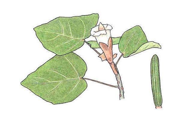 how to grow balsa tree