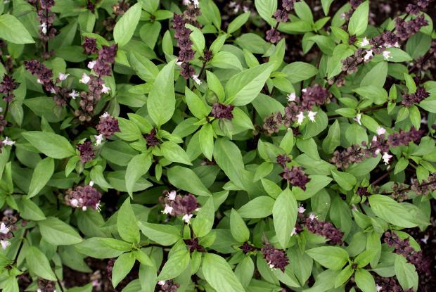 Ocimum basilicum 'Cinnamon'