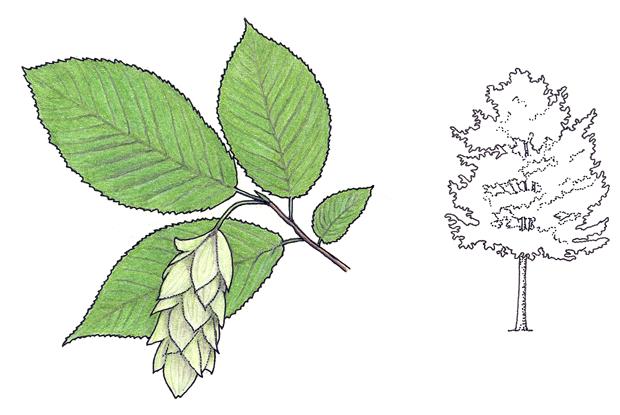 Ostrya virginiana