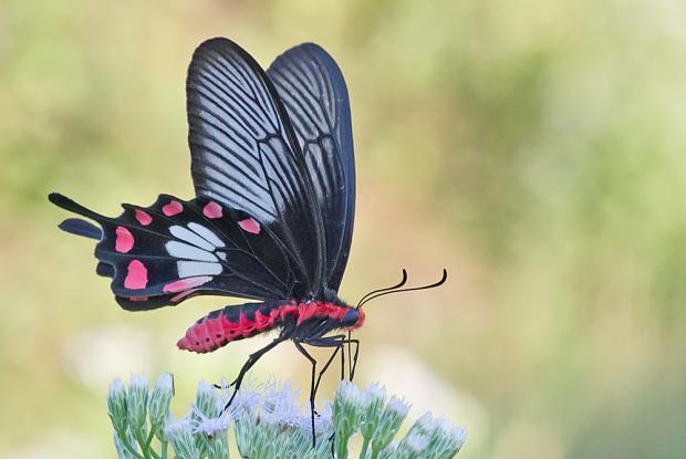 Pachliopta aristolochia