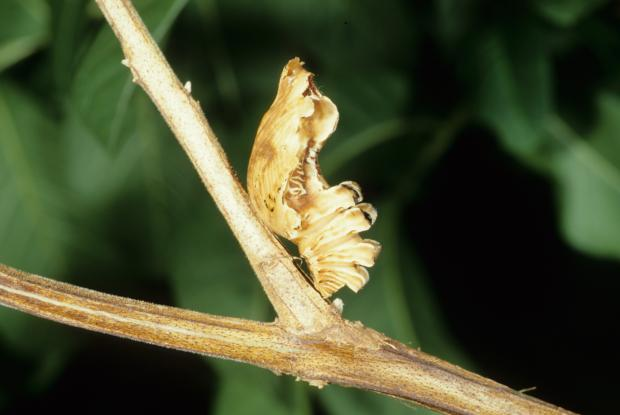 Pachliopta aristolochia (chrysalis)