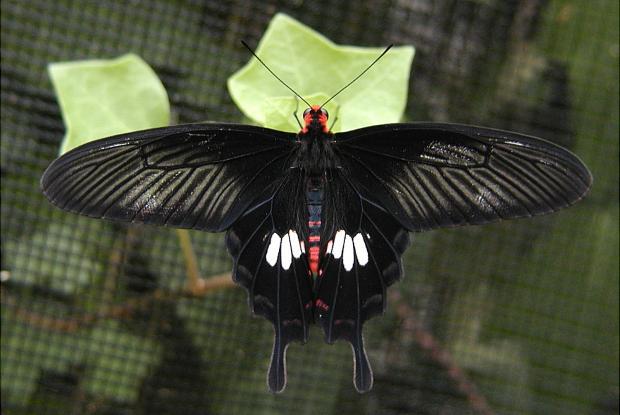 Pachliopta kotzebuea (femelle)