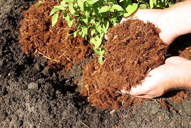 Application de paillis lors de la plantation d'un arbuste.