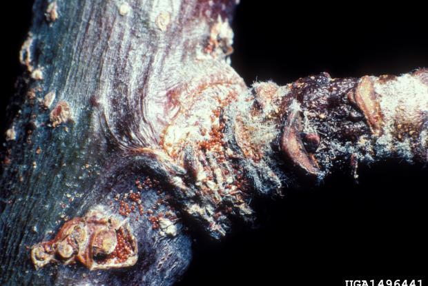 Panonychus ulmi