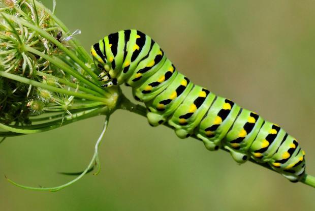 Papillon du c leri espace pour la vie - Chenille verte et noire ...