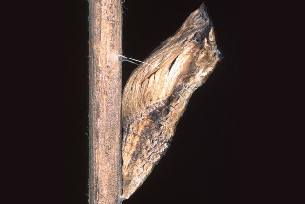 Papilio polyxenes asterius, chrysalide, Québec, Canada.