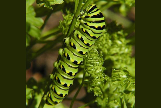 Papilio polyxenes asterius, Québec, Canada.