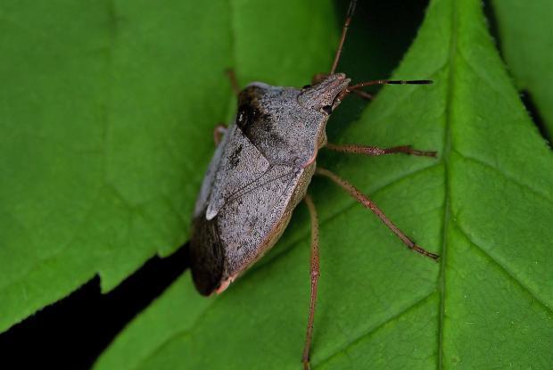 Pentatomidae (family).