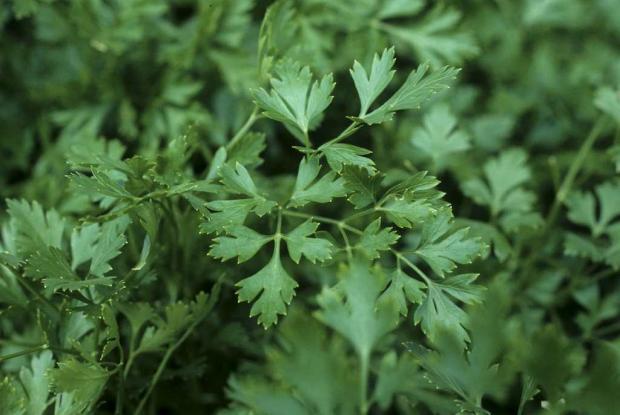 Petroselinum crispum neapolitanum