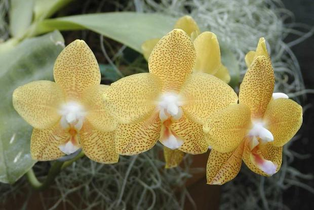 Phalaenopsis 'Brother Elizabeth'
