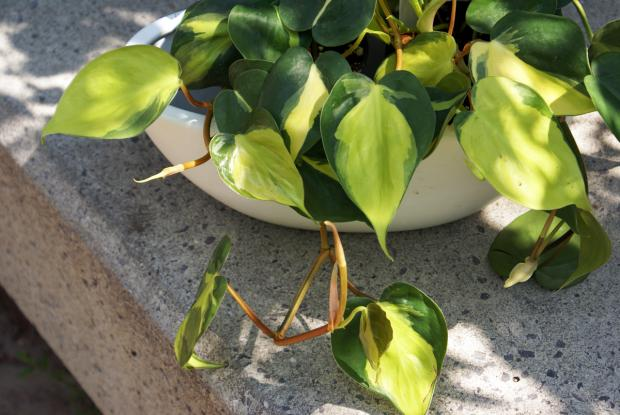 Philodendron hederaceum 'Brazil'