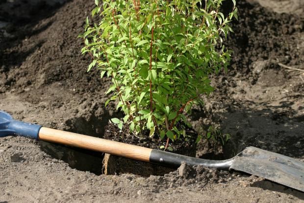 Une pelle et un arbuste sur le point d'être planté.