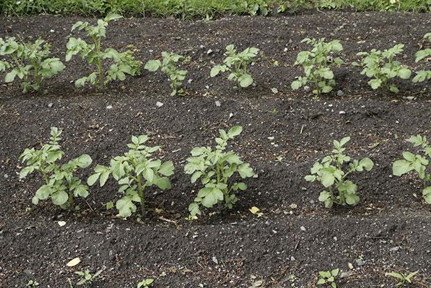 Des plants de pommes de terre dans un jardin potager.