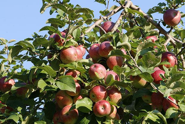 An apple tree with branches.