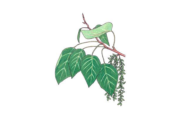 Populus balsamifera