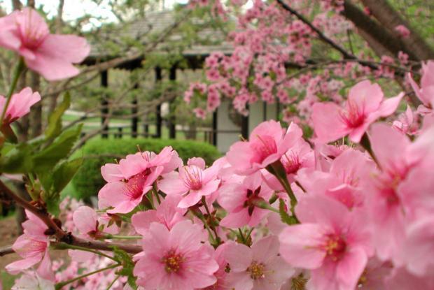 Floraison printanière au Jardin japonais.