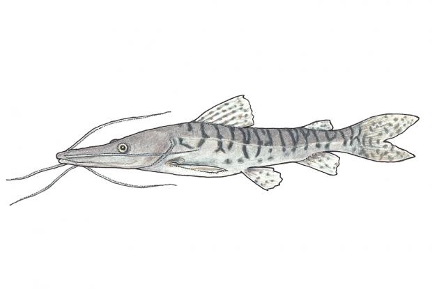 Tiger catfish (barred sorubim) Space for life