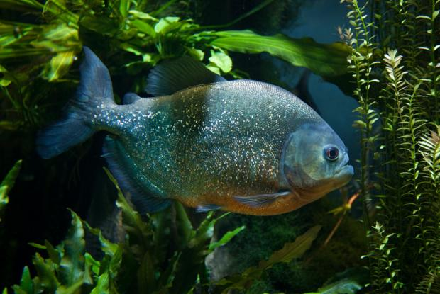 Red-bellied piranha (Pygocentrus nattereri).