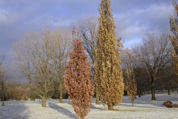 Quercus robur 'Fastigiata'