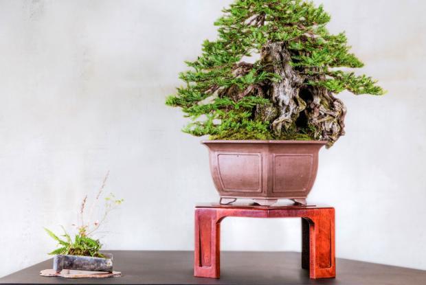 An Impressive Bonsai for the Botanical Garden