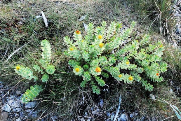 Rhodiola rosea (roseroot)