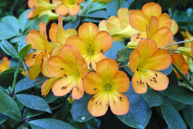 Rhododendron 'Christo Rey'