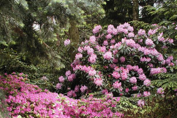 Rhododendron 'Fundy'