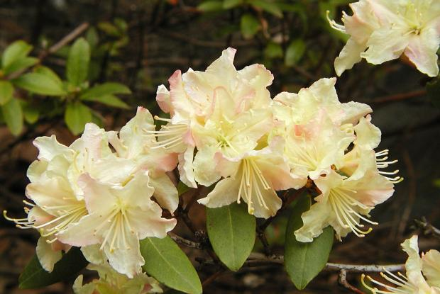 Rhododendron 'Mary Flemming'