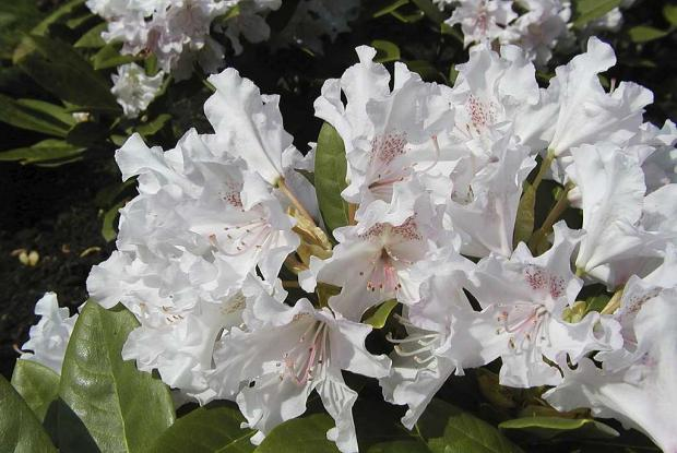 Rhododendron 'Pohjola's Daughter'