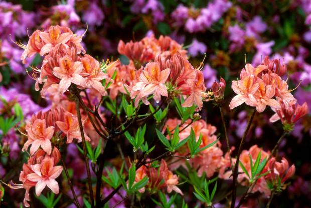 Rhododendron 'Spicy Lights'