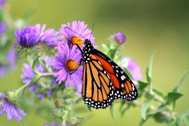10 - New England aster