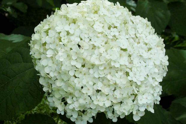 Hydrangea arborescens 'Annabelle'
