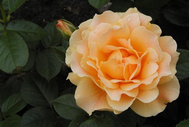 Taille du rosier espace pour la vie - Comment multiplier un rosier ...
