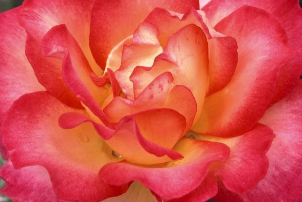 Rosa 'Rainbow Sorbet'.