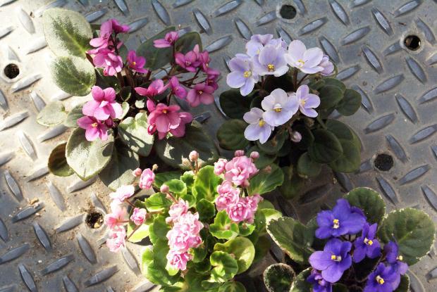 Saintpaulia space for life for Violette africane