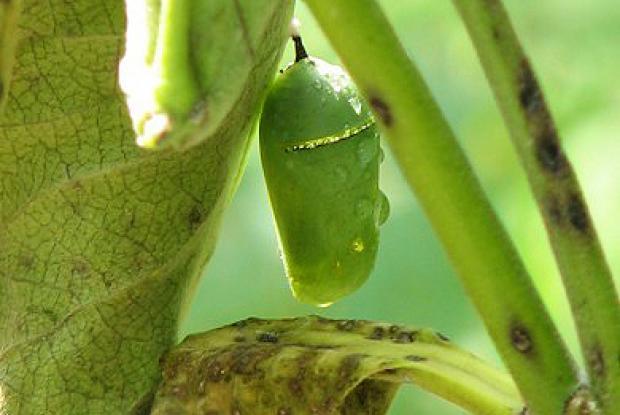 Chrysalide camouflée dans la végétation