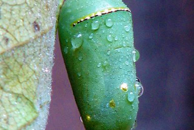 La chrysalide de monarque porte des points dorés