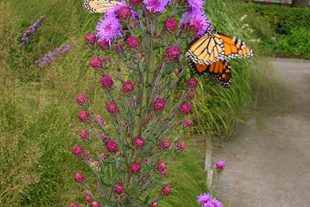 Monarchs on nectar-bearing flowers