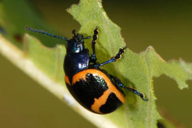 Milkweed leaf beetle larva